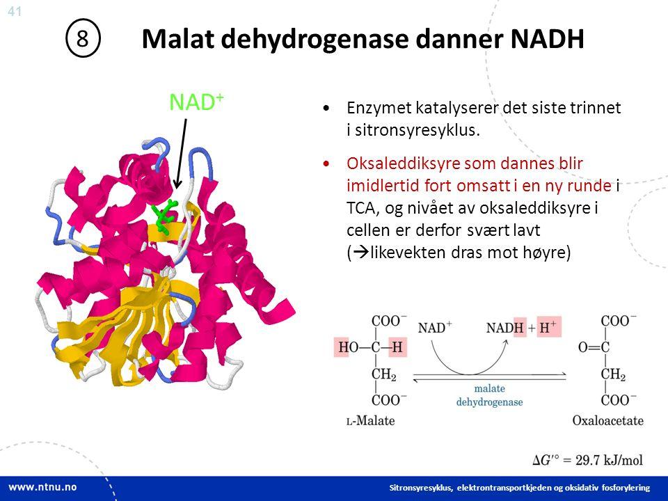 41 Malat dehydrogenase danner NADH 8 Enzymet katalyserer det siste trinnet i sitronsyresyklus.