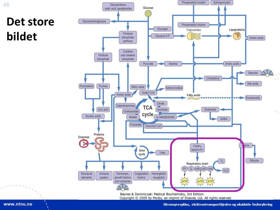 46 Det store bildet Sitronsyresyklus, elektrontransportkjeden og oksidativ fosforylering
