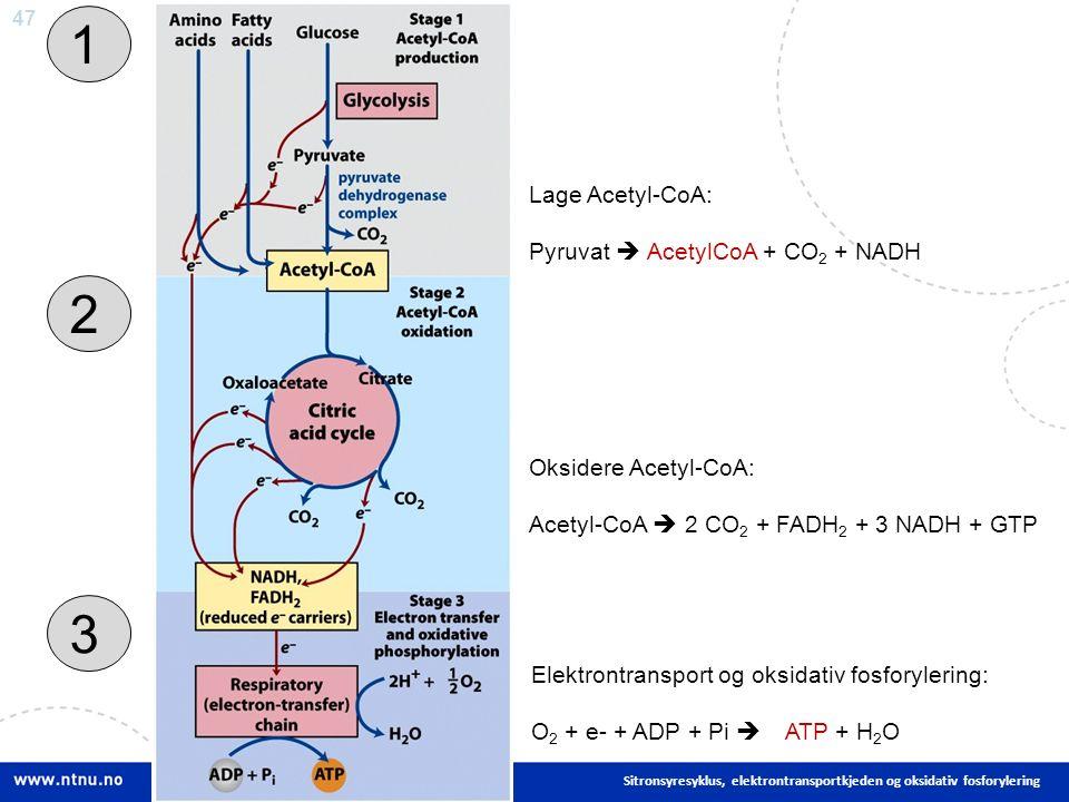 47 Sitronsyresyklus, elektrontransportkjeden og oksidativ fosforylering 1 3 2 Lage Acetyl-CoA: Pyruvat  AcetylCoA + CO 2 + NADH Oksidere Acetyl-CoA: Acetyl-CoA  2 CO 2 + FADH 2 + 3 NADH + GTP Elektrontransport og oksidativ fosforylering: O 2 + e- + ADP + Pi  ATP + H 2 O
