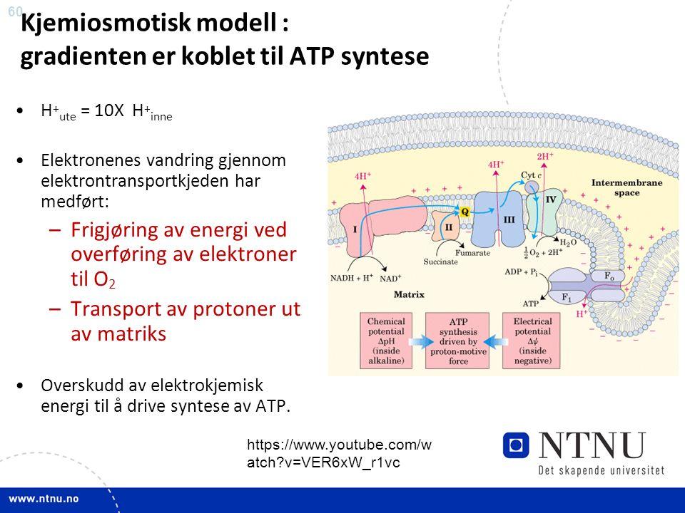 60 Kjemiosmotisk modell : gradienten er koblet til ATP syntese H + ute = 10X H + inne Elektronenes vandring gjennom elektrontransportkjeden har medført: –Frigjøring av energi ved overføring av elektroner til O 2 –Transport av protoner ut av matriks Overskudd av elektrokjemisk energi til å drive syntese av ATP.