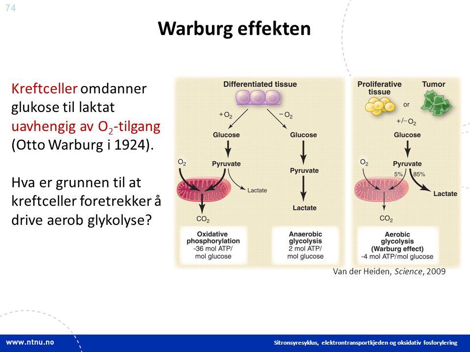 74 Warburg effekten Sitronsyresyklus, elektrontransportkjeden og oksidativ fosforylering Kreftceller omdanner glukose til laktat uavhengig av O 2 -tilgang (Otto Warburg i 1924).