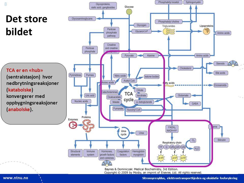 8 Det store bildet Sitronsyresyklus, elektrontransportkjeden og oksidativ fosforylering TCA er en «hub» (sentralstasjon) hvor nedbrytningsreaksjoner (katabolske) konvergerer med oppbygningsreaksjoner (anabolske).