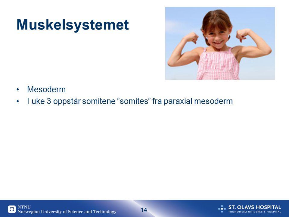 "14 Muskelsystemet Mesoderm I uke 3 oppstår somitene ""somites"" fra paraxial mesoderm"