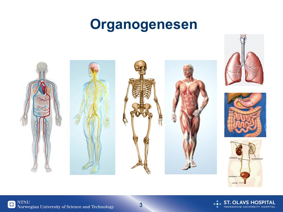 3 Organogenesen