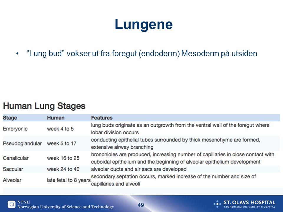 """49 Lungene """"Lung bud"""" vokser ut fra foregut (endoderm) Mesoderm på utsiden"""
