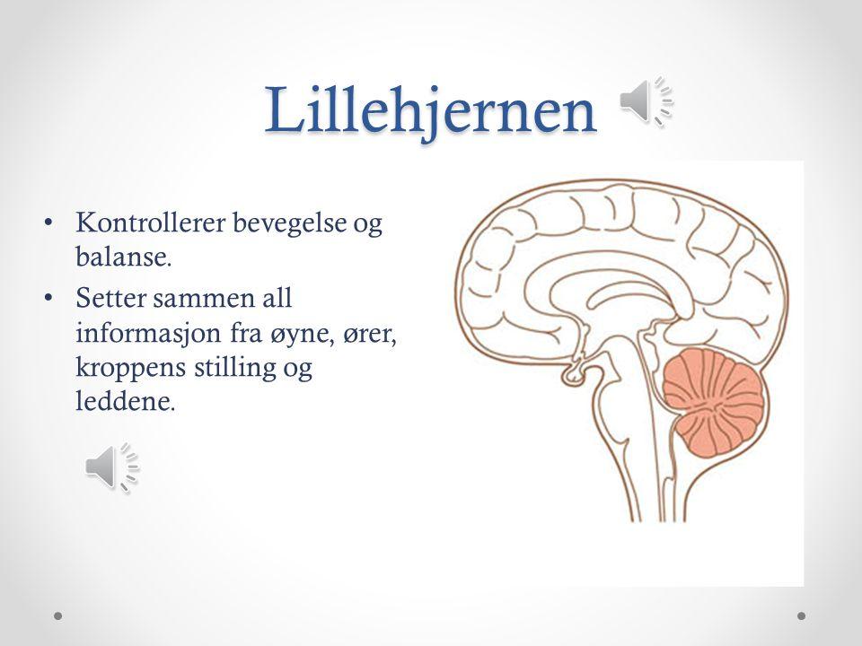 Hjernestammen Går gjennom et stort hull i bunnen av hodeskallen og over i ryggmargen.