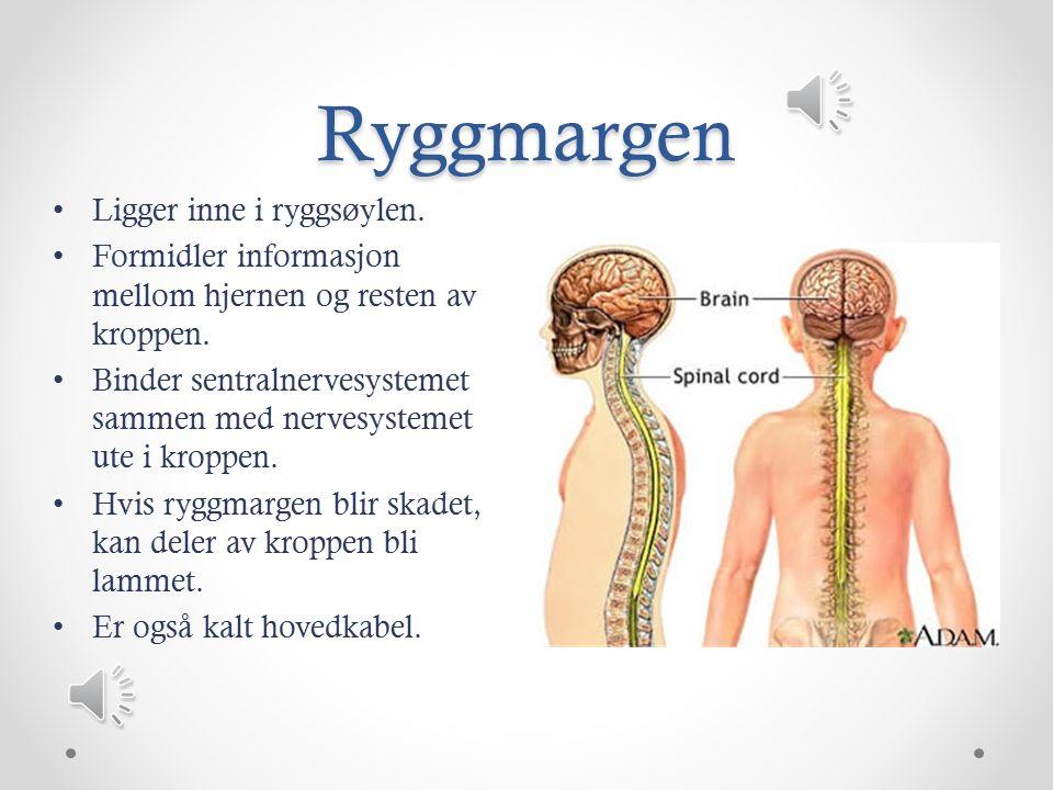 Ryggmargen Ligger inne i ryggsøylen.Formidler informasjon mellom hjernen og resten av kroppen.