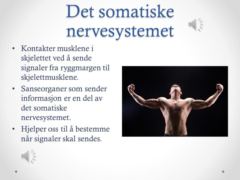 Det somatiske nervesystemet Kontakter musklene i skjelettet ved å sende signaler fra ryggmargen til skjelettmusklene.