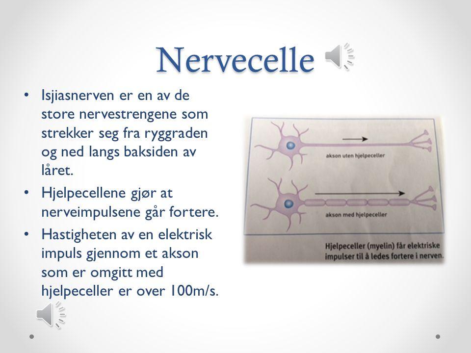 Nervecelle Synapser er kontaktsted/overgang mellom to nerveceller.