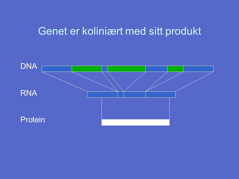 Genet er koliniært med sitt produkt DNA RNA Protein
