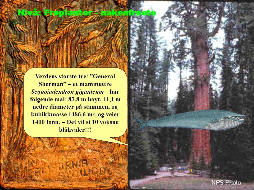 """Verdens største tre: """"General Sherman"""" – et mammuttre Sequoiadendron giganteum – har følgende mål: 83,8 m høyt, 11,1 m nedre diameter på stammen, og k"""