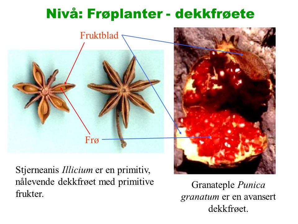 Stjerneanis Illicium er en primitiv, nålevende dekkfrøet med primitive frukter. Fruktblad Frø Granateple Punica granatum er en avansert dekkfrøet. Niv