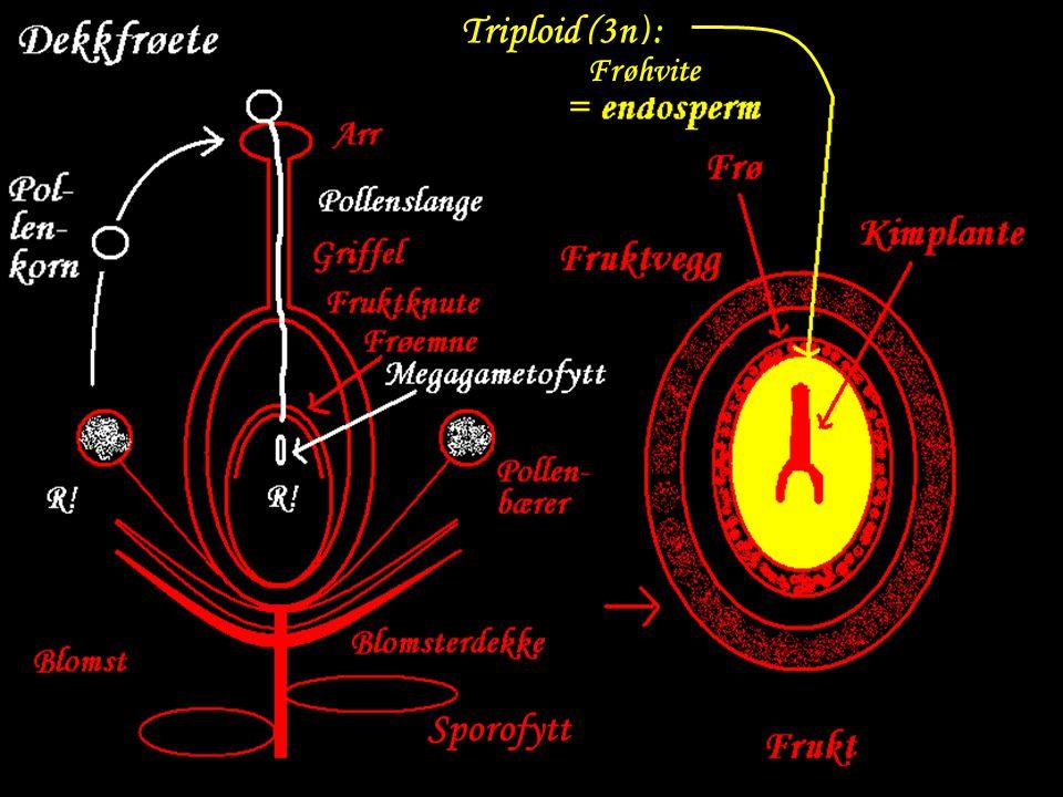 Sporofytt Triploid (3n) : Frøhvite