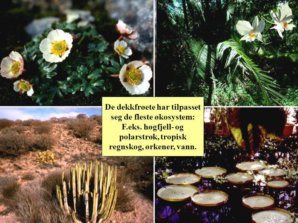 Nivå: Frøplanter - dekkfrøete AlethopterisPollenslange Frukt 2 frøblad Pollenkorn med 1 apertur Urdekkfrøete ( Paleoherbs ) Kvit nøkkerose Nymphaea alba 1 frøblad Enfrøbladete (Monocotyledonae) Gullstjerne Gagea lutea Magnoliagruppa Magnolia sieboldi Tofrøbladete (Eudicotyledonae) Blåveis Hepatica nobilis Pollenkorn med 3 aperturer Frøbregner (Pteridospermae – progymnosperms)