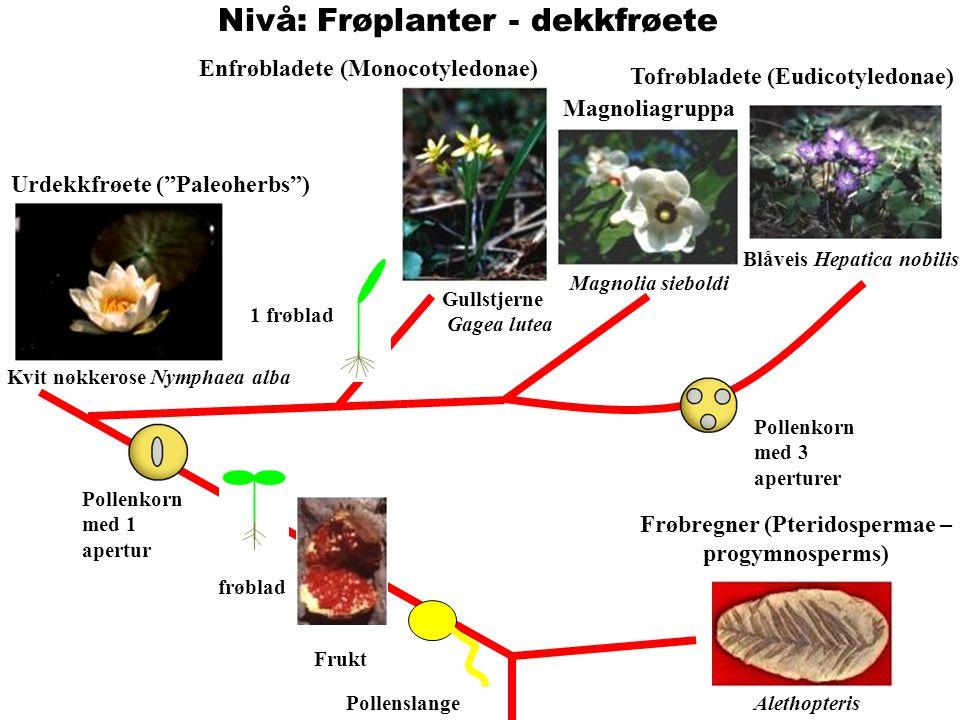 """Nivå: Frøplanter - dekkfrøete AlethopterisPollenslange Frukt 2 frøblad Pollenkorn med 1 apertur Urdekkfrøete (""""Paleoherbs"""") Kvit nøkkerose Nymphaea al"""