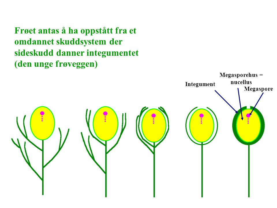 Frøet antas å ha oppstått fra et omdannet skuddsystem der sideskudd danner integumentet (den unge frøveggen) Integument Megasporehus = nucellus Megasp