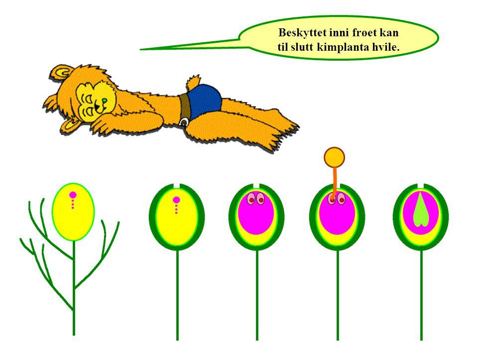 Beskyttet inni frøet kan til slutt kimplanta hvile.