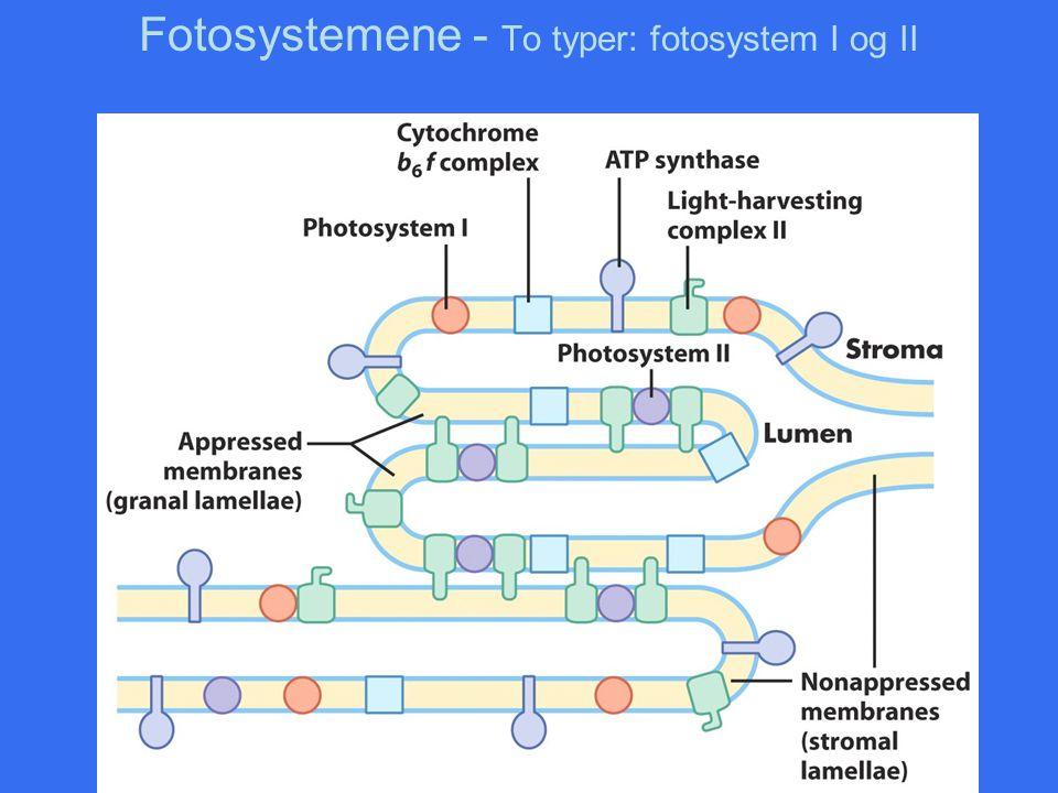 Fotosystemene - To typer: fotosystem I og II
