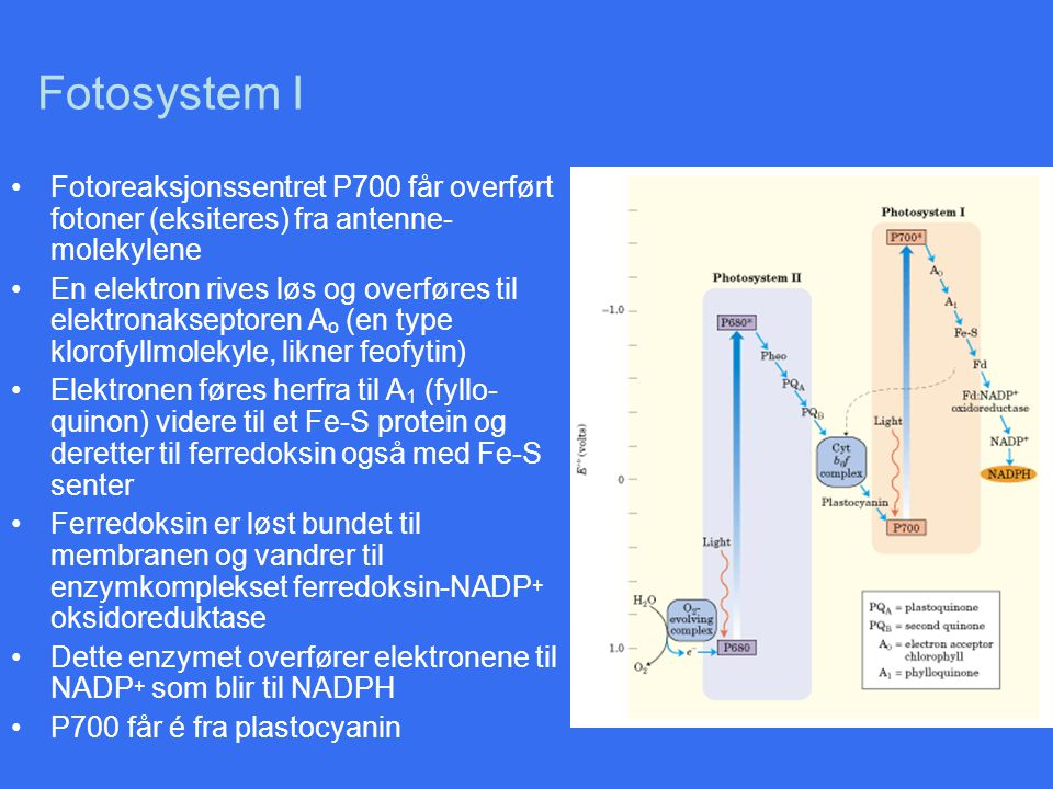 Fotosystem I Fotoreaksjonssentret P700 får overført fotoner (eksiteres) fra antenne- molekylene En elektron rives løs og overføres til elektronaksepto