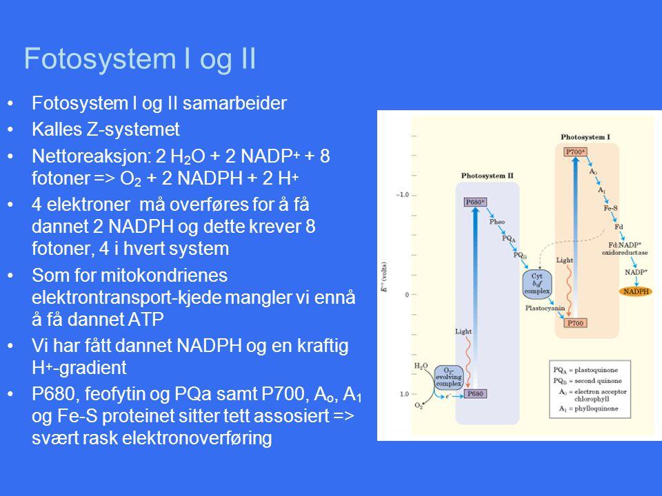 Fotosystem I og II Fotosystem I og II samarbeider Kalles Z-systemet Nettoreaksjon: 2 H 2 O + 2 NADP + + 8 fotoner => O 2 + 2 NADPH + 2 H + 4 elektrone