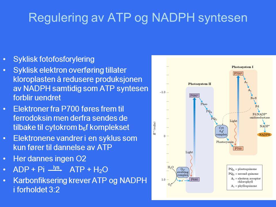 Regulering av ATP og NADPH syntesen Syklisk fotofosforylering Syklisk elektron overføring tillater kloroplasten å redusere produksjonen av NADPH samti