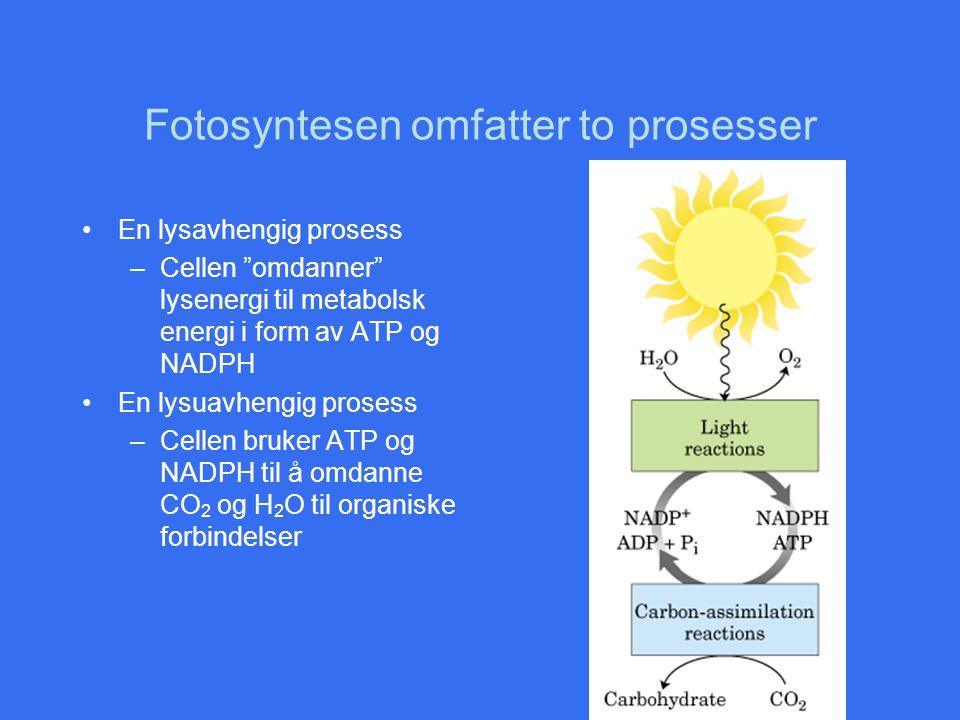 """Fotosyntesen omfatter to prosesser En lysavhengig prosess –Cellen """"omdanner"""" lysenergi til metabolsk energi i form av ATP og NADPH En lysuavhengig pro"""
