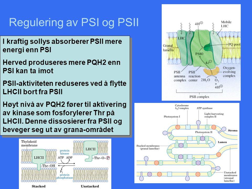 Regulering av PSI og PSII I kraftig sollys absorberer PSII mere energi enn PSI Herved produseres mere PQH2 enn PSI kan ta imot PSII-aktiviteten reduse