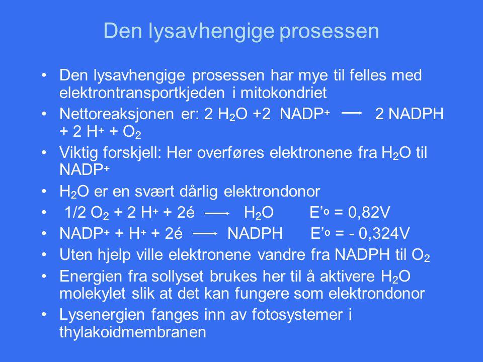 Den lysavhengige prosessen Den lysavhengige prosessen har mye til felles med elektrontransportkjeden i mitokondriet Nettoreaksjonen er: 2 H 2 O +2 NAD