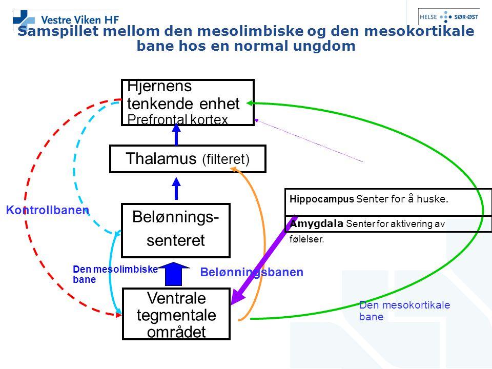 Samspillet mellom den mesolimbiske og den mesokortikale bane hos en normal ungdom Hjernens tenkende enhet Prefrontal kortex Thalamus (filteret) Belønn