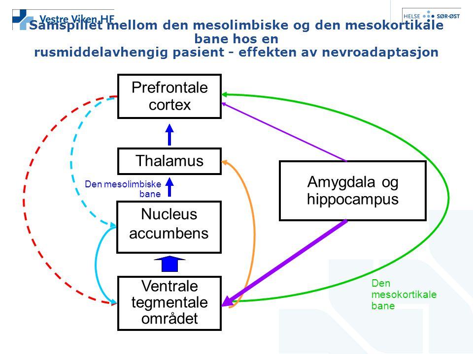 Samspillet mellom den mesolimbiske og den mesokortikale bane hos en rusmiddelavhengig pasient - effekten av nevroadaptasjon Prefrontale cortex Thalamu