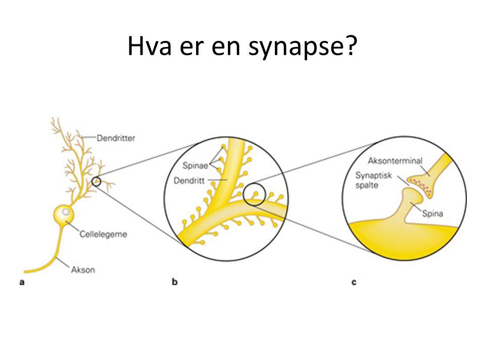 Hva er en synapse?
