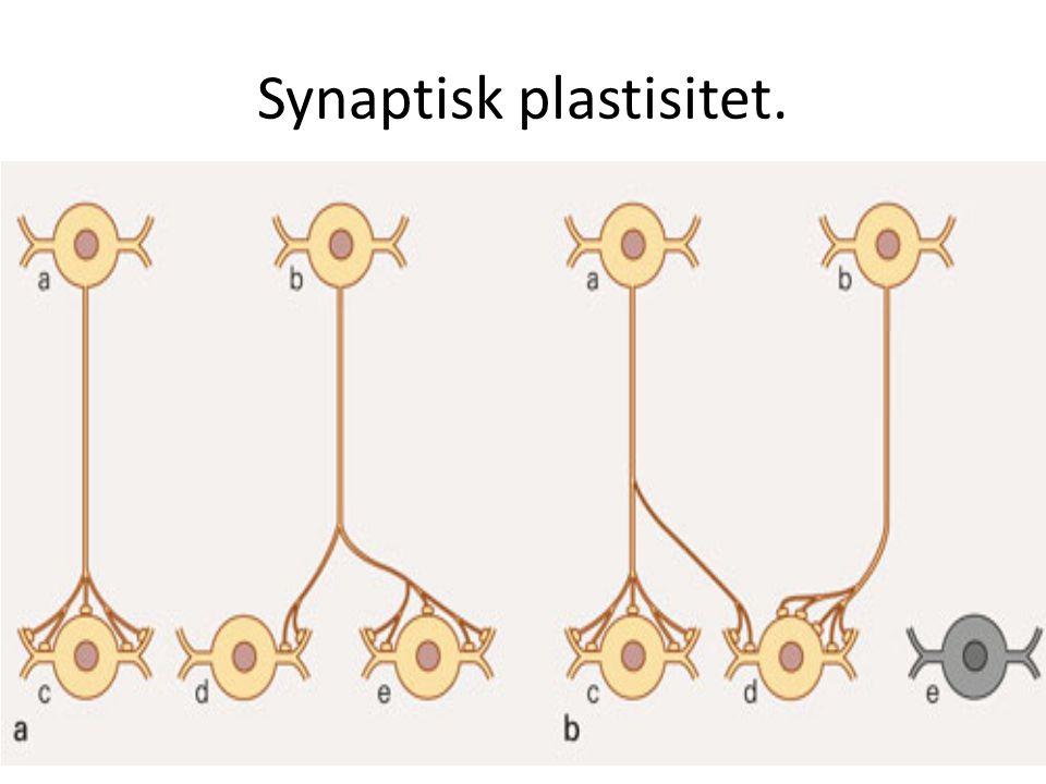 Synaptisk plastisitet.