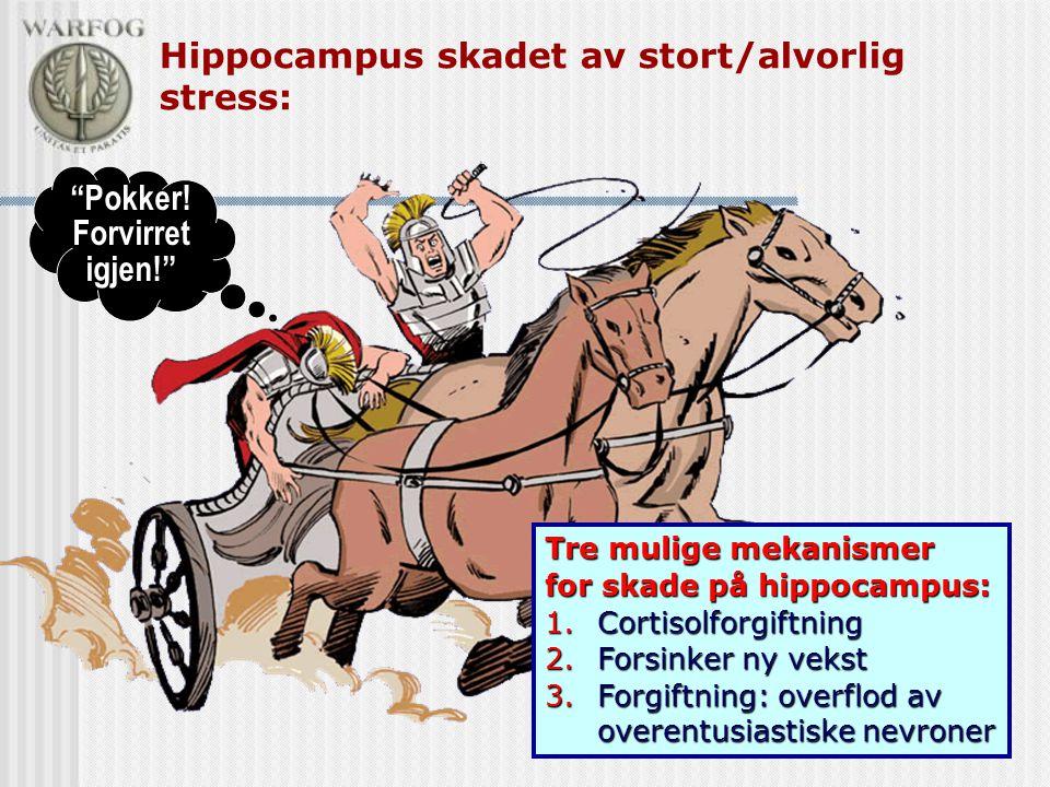 """Hippocampus skadet av stort/alvorlig stress: """"Pokker! Forvirret igjen!"""" Tre mulige mekanismer for skade på hippocampus: 1.Cortisolforgiftning 2.Forsin"""