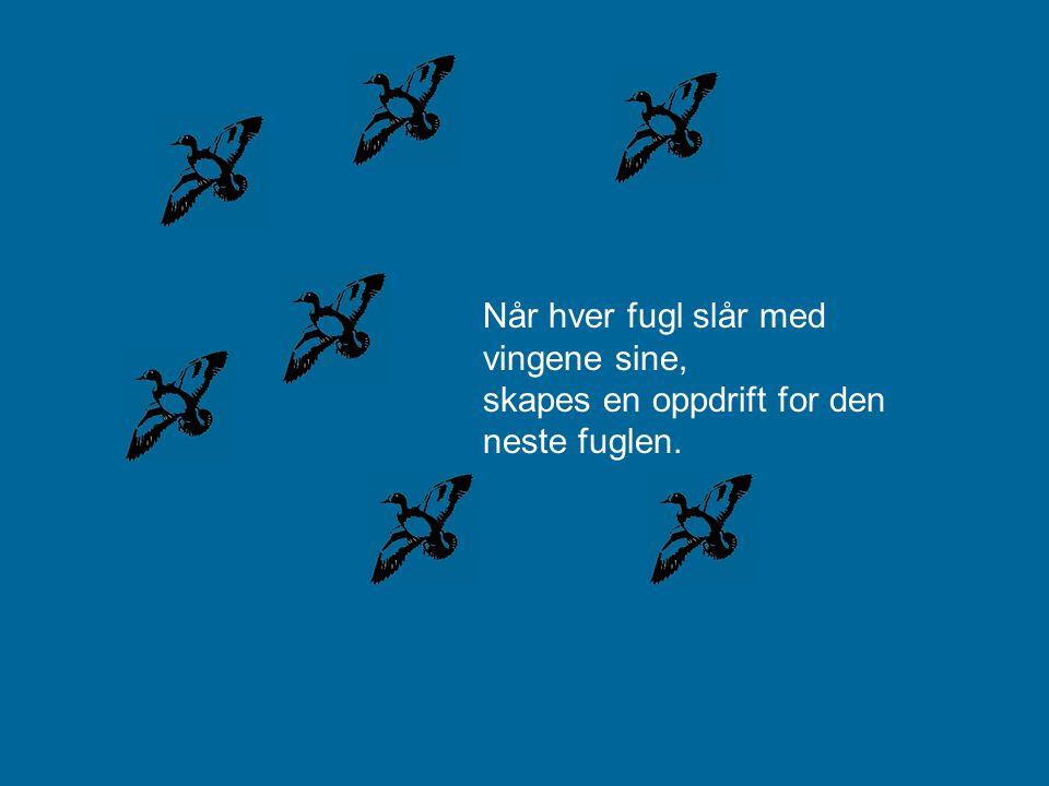 Gjessene som flyr i V formasjon, gakker til de foran for å oppmuntre og støtte de som flyr i front..