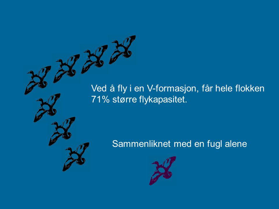 Ved å fly i en V-formasjon, får hele flokken 71% større flykapasitet.