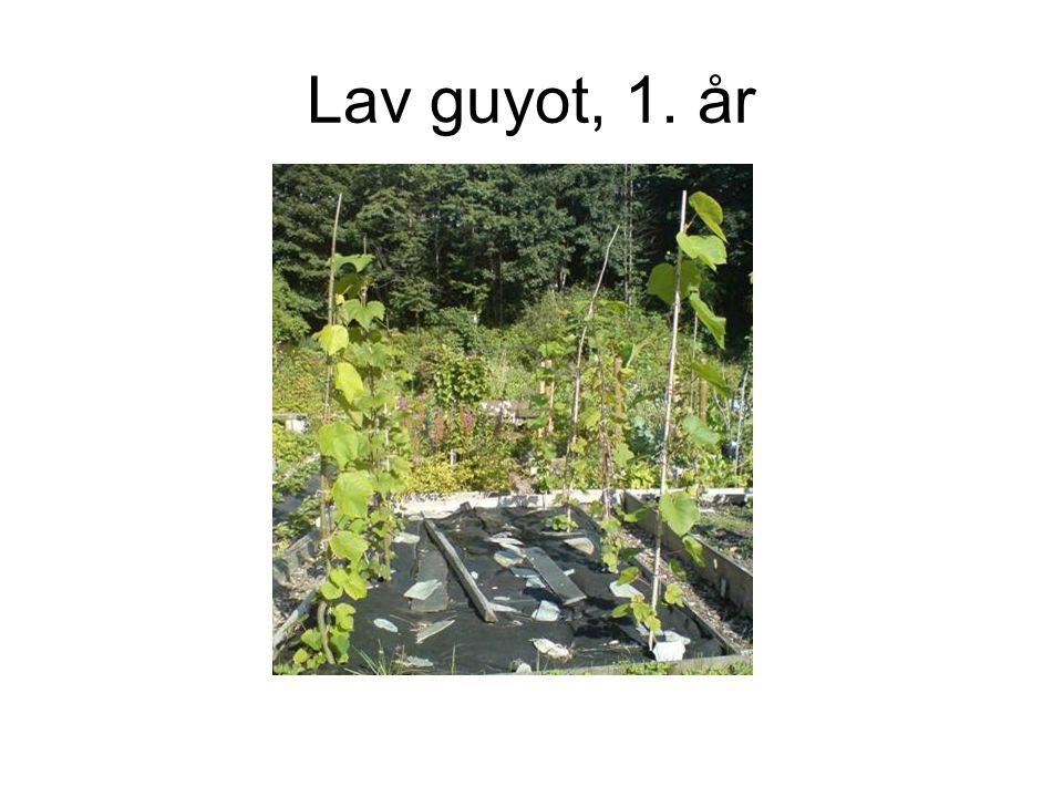 Lav guyot, 1. år