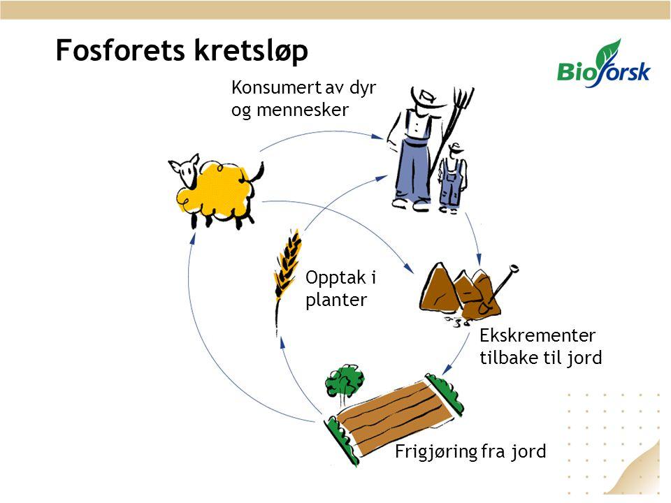 Fosforets kretsløp Frigjøring fra jord Opptak i planter Konsumert av dyr og mennesker Ekskrementer tilbake til jord