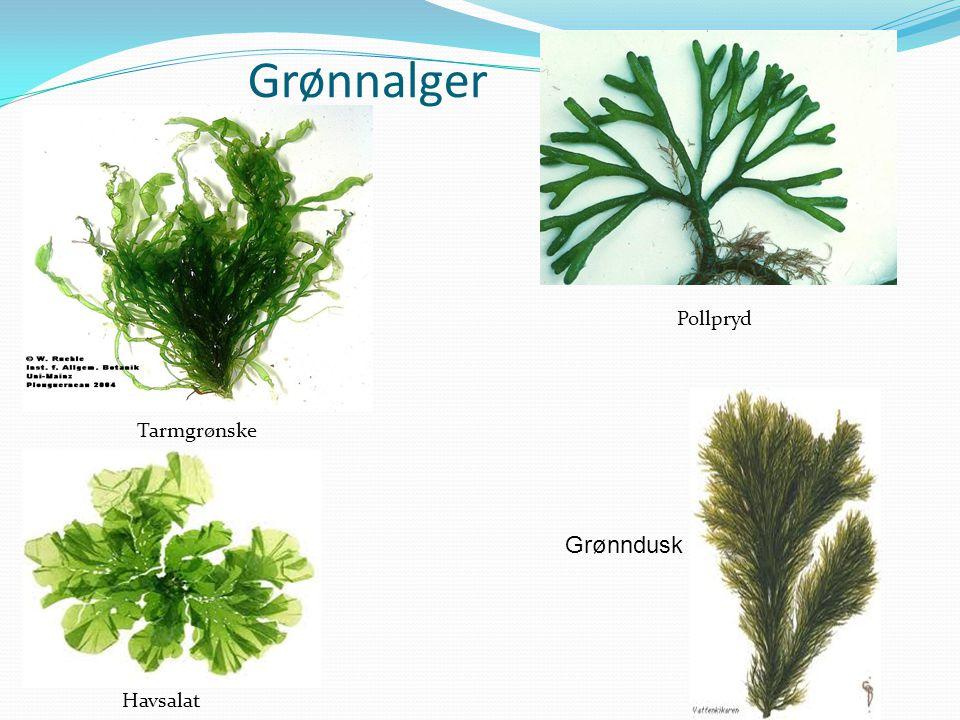 Grønnalger Havsalat Tarmgrønske Pollpryd Grønndusk