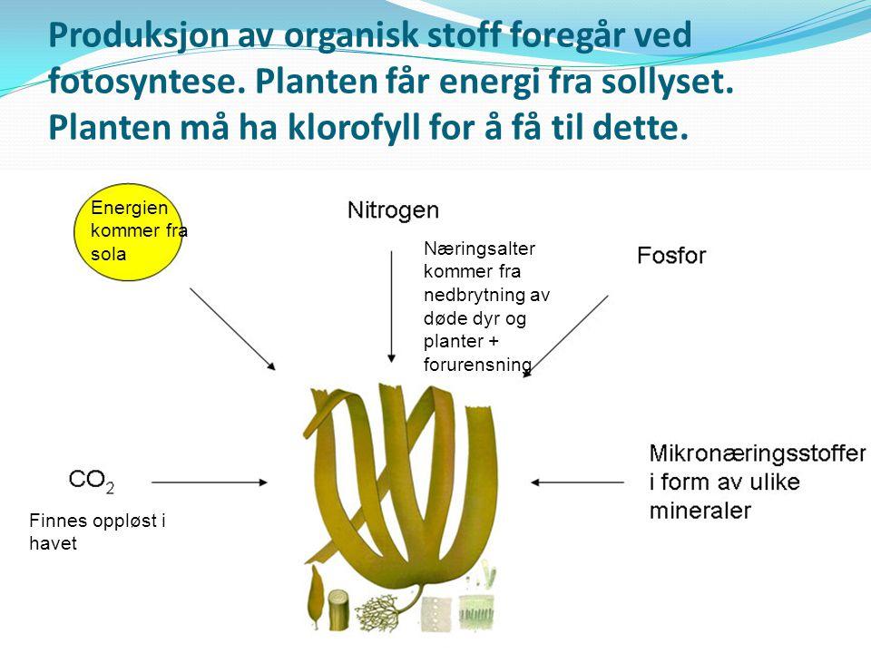 Produksjon av organisk stoff foregår ved fotosyntese. Planten får energi fra sollyset. Planten må ha klorofyll for å få til dette. Energien kommer fra