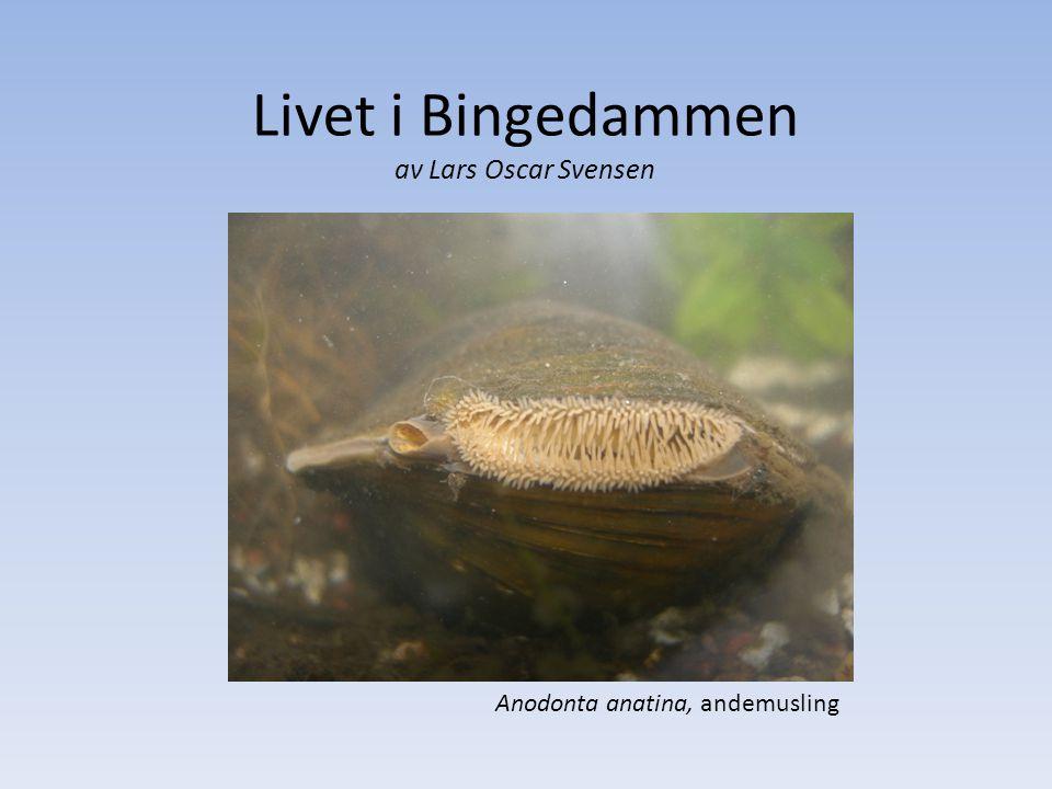 Livet i Bingedammen av Lars Oscar Svensen Anodonta anatina, andemusling