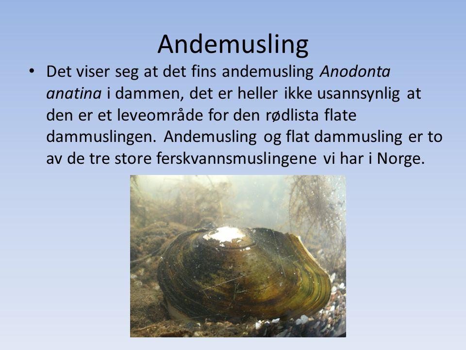 Andemusling • Det viser seg at det fins andemusling Anodonta anatina i dammen, det er heller ikke usannsynlig at den er et leveområde for den rødlista