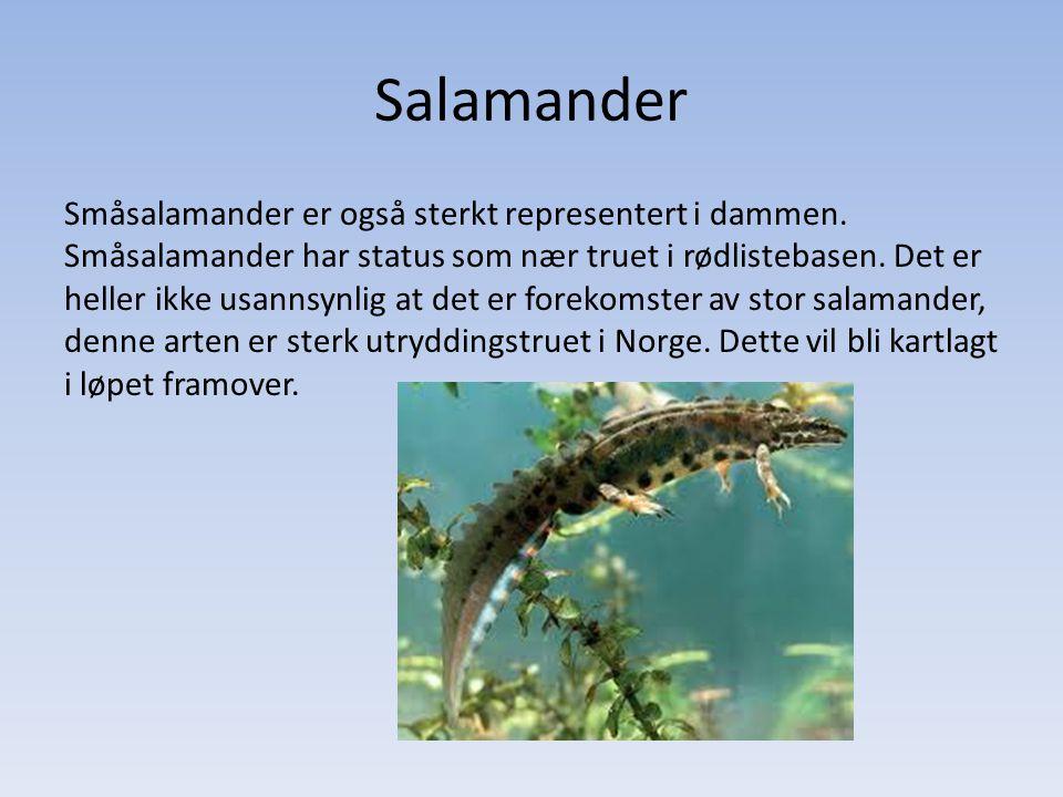 Salamander Småsalamander er også sterkt representert i dammen. Småsalamander har status som nær truet i rødlistebasen. Det er heller ikke usannsynlig