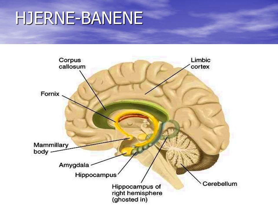 HJERNE-BANENE