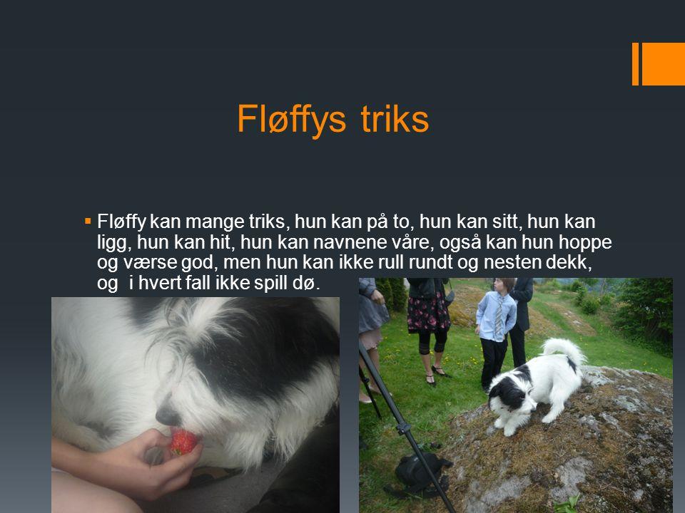 Fløffy sine raser  Fløffy er en blandings hund  Fløffy er en blanding av: nordfolkterier, border collie, dachs, papillon, tibetansk spaniel,