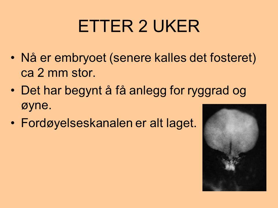 ETTER 2 UKER •Nå er embryoet (senere kalles det fosteret) ca 2 mm stor. •Det har begynt å få anlegg for ryggrad og øyne. •Fordøyelseskanalen er alt la