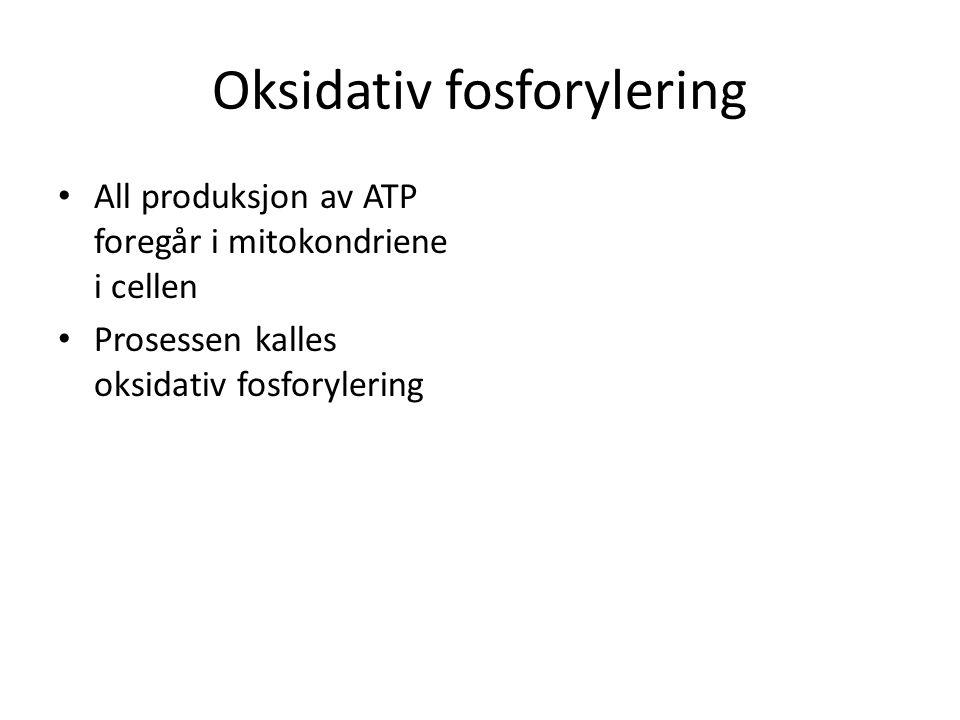 Oksidativ fosforylering • All produksjon av ATP foregår i mitokondriene i cellen • Prosessen kalles oksidativ fosforylering