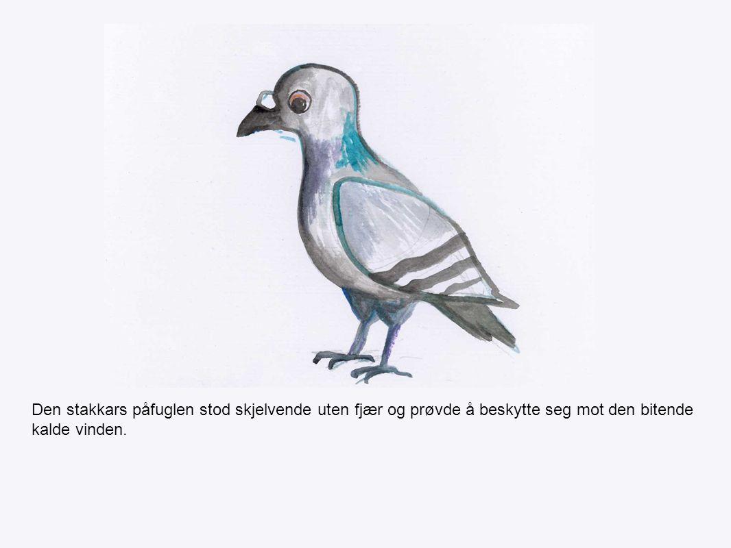 Den stakkars påfuglen stod skjelvende uten fjær og prøvde å beskytte seg mot den bitende kalde vinden.
