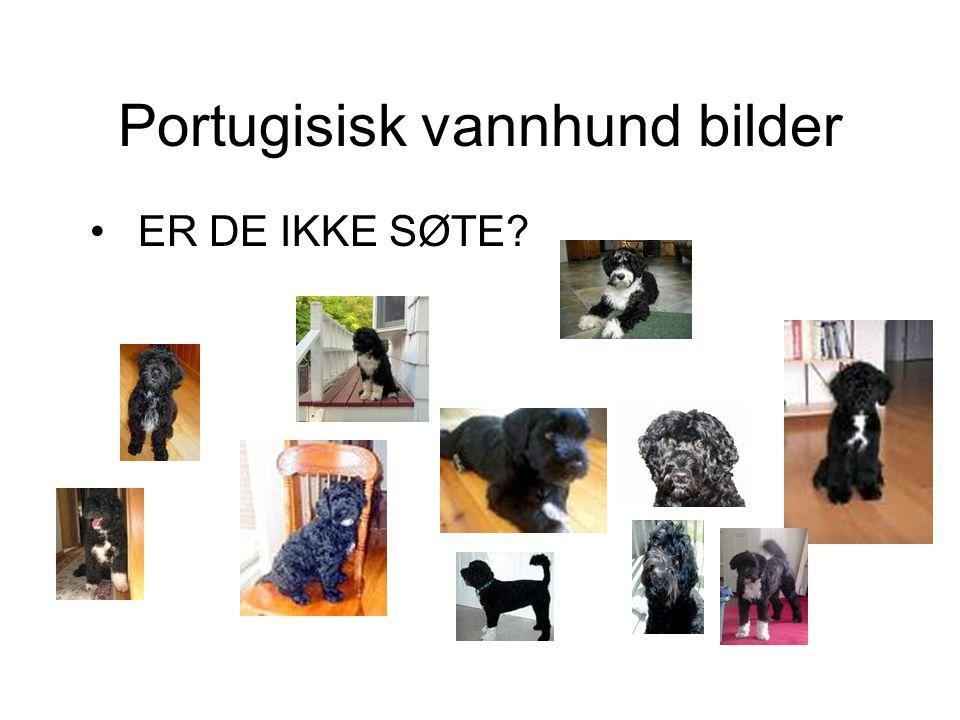 Portugisisk vannhund bilder • ER DE IKKE SØTE?