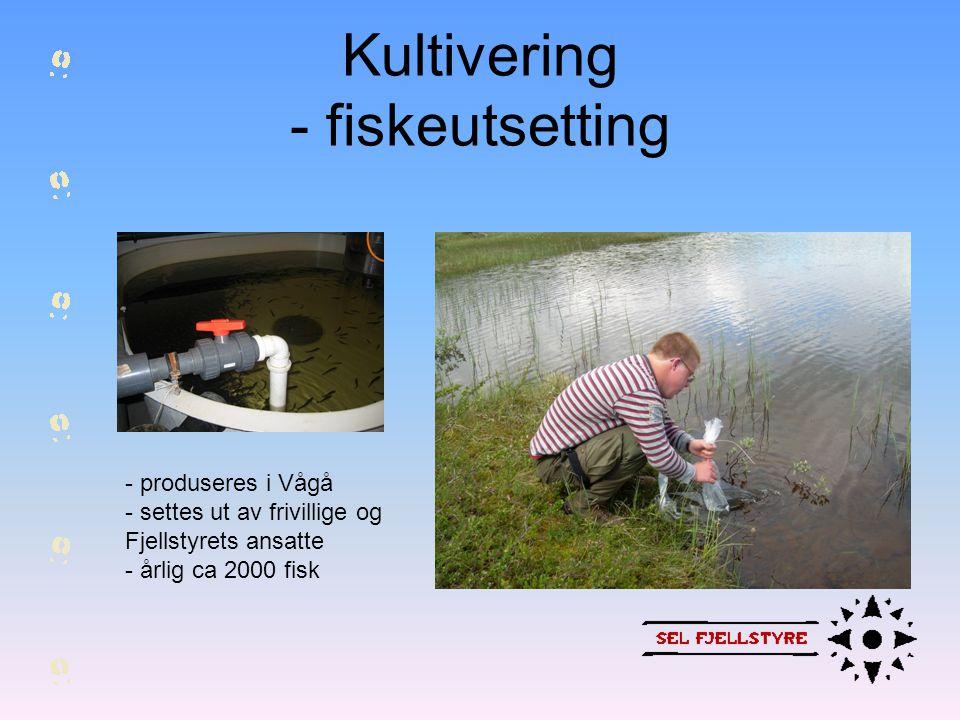 Kultivering - fiskeutsetting - produseres i Vågå - settes ut av frivillige og Fjellstyrets ansatte - årlig ca 2000 fisk
