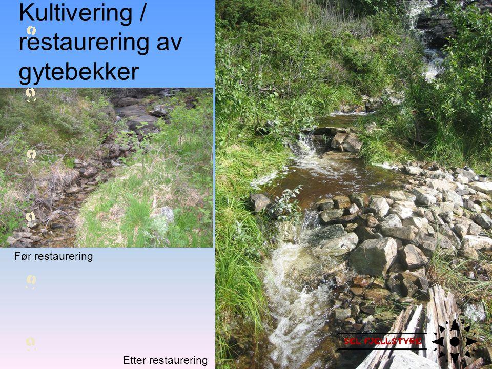 Før restaurering Etter restaurering Kultivering / restaurering av gytebekker